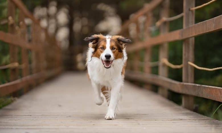 English Shepherd running on the wooden bridge
