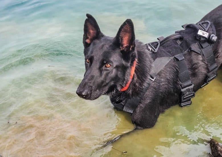 German Shepherd dog in shoreline search training