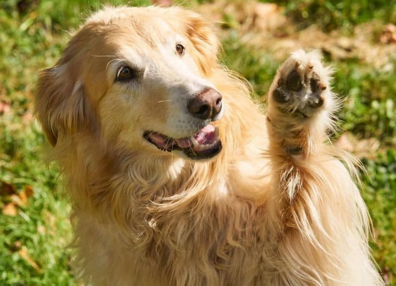 A polite Golden Retriever Border Collie mix doing high five