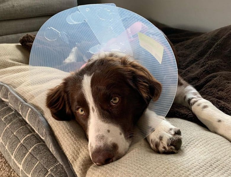 An ill Border Collie wearing cone collar