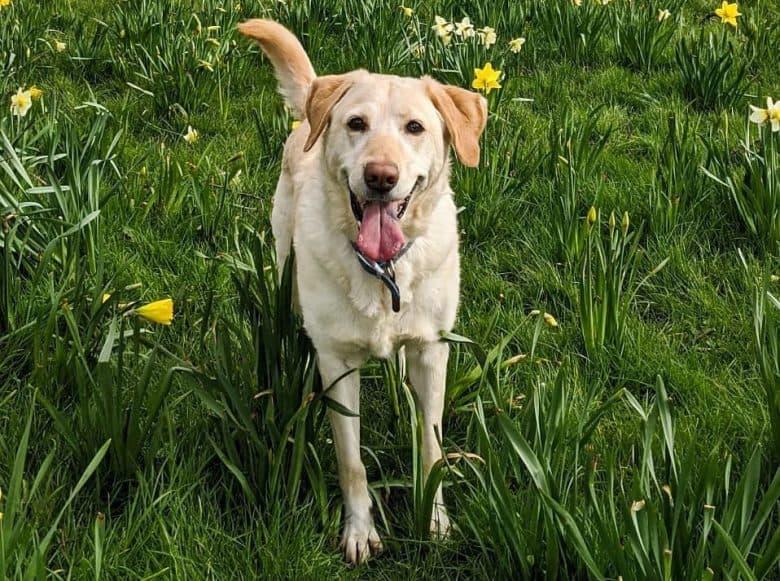 A Labrador Retriever standing on daffodils