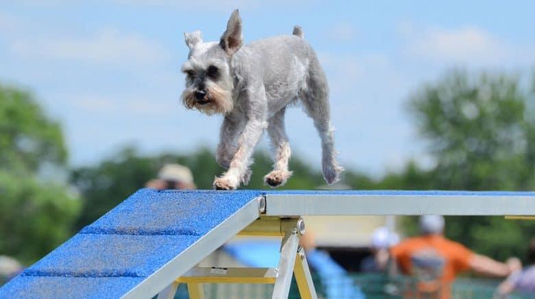 Miniature Schnauzer on a dog walk at agility trial