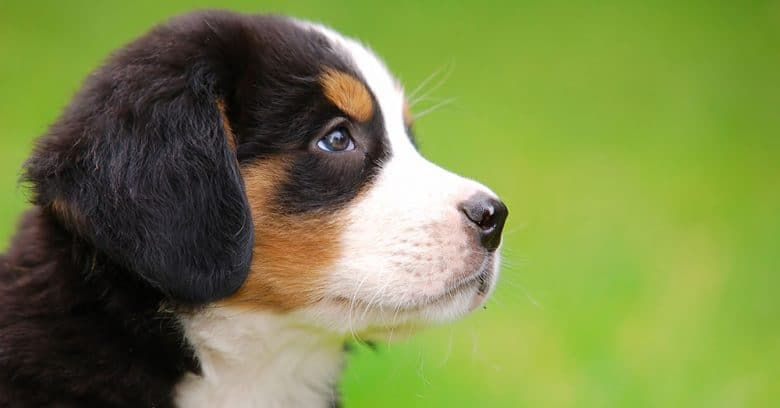 Portrait of young Bernese Mountain dog