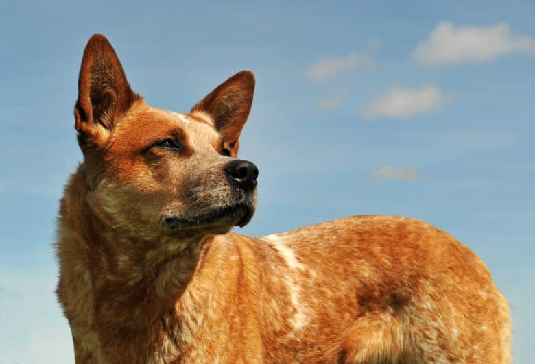 Red Heeler looking at the sky