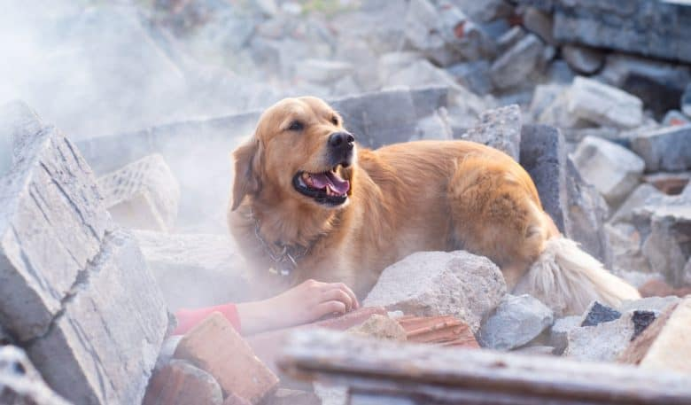 A Rescue dog found injured people in ruins after an earthquake