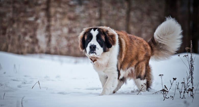 Saint Bernard dog walking on snow