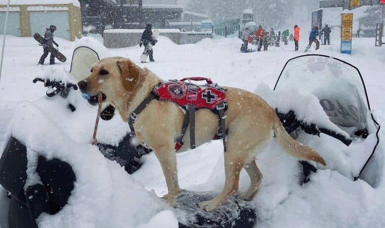 Ski patrol dog in action