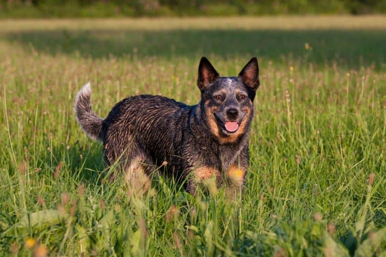 Smiling Australian Cattle Dog walking on the grass