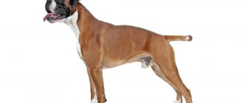 Smiling Boxer dog posing sideways
