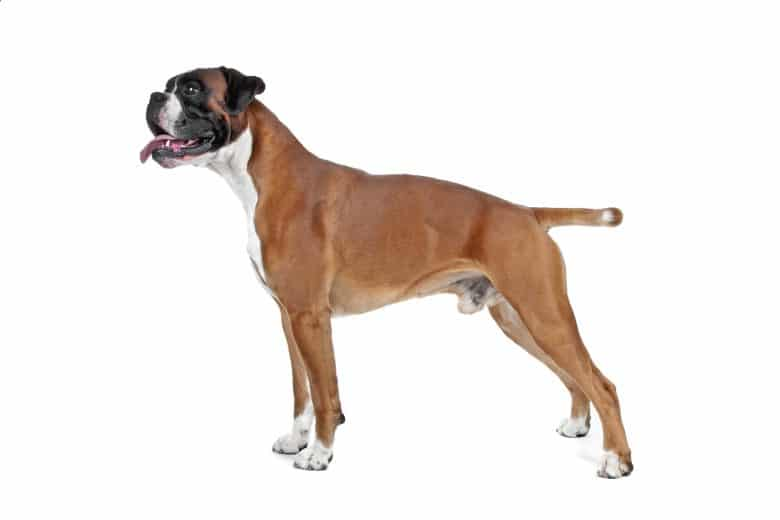 Smiling Boxer dog posing sideways
