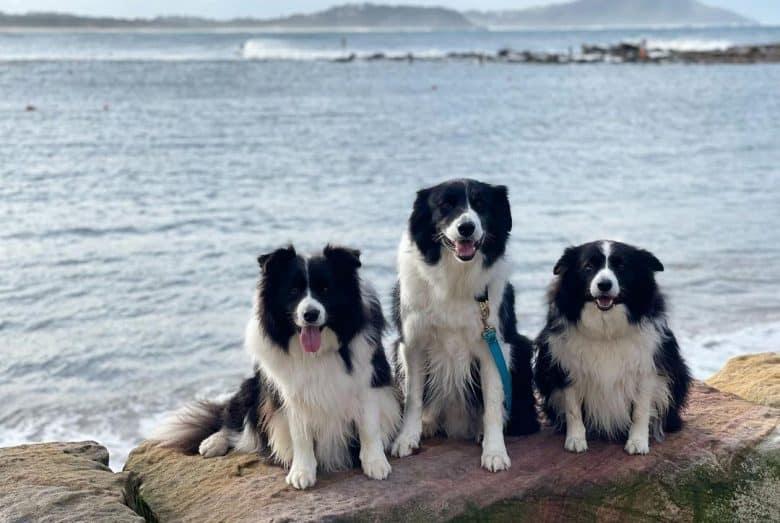 Three Border Collies sitting on the rock near the sea