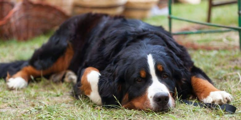 Tired Bernese Mountain dog lying on grass