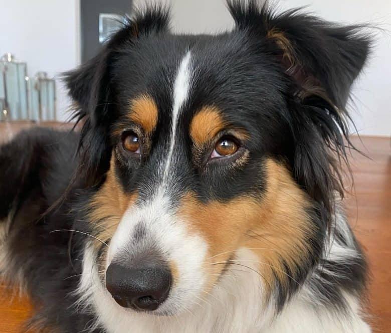 Tri-color Australian Shepherd dog