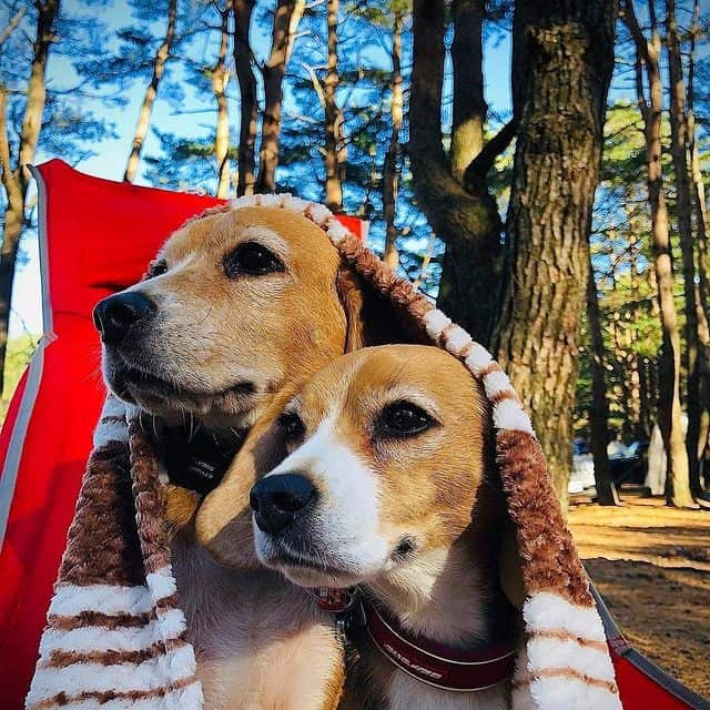 Two adorable Beagles under a blanket