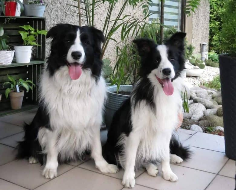 Two Border Collies sitting together