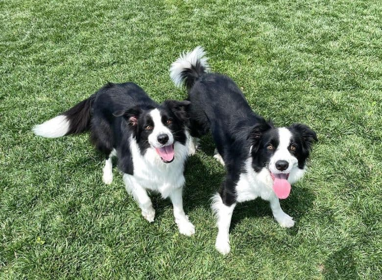 Two Border Collies enjoying the sunny day