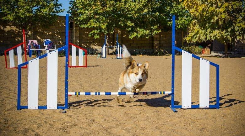 Pembroke Welsh Corgi dog undergo agility trial