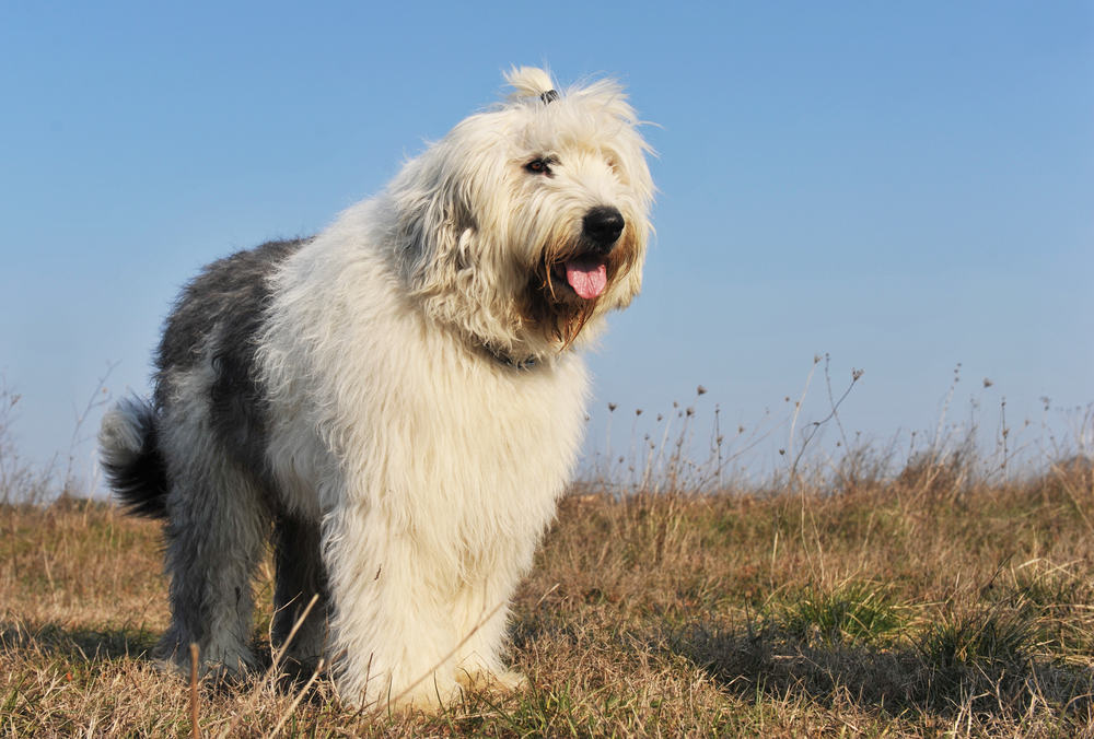 Are Sheepadoodles The Right Breed for You? - K9 Web