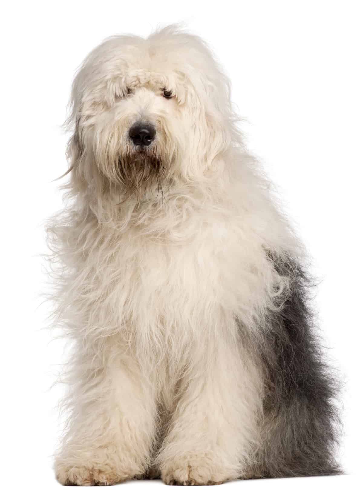 Everything To Know About Old English Sheepdog Amp Faqs K9 Web