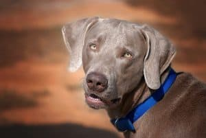 Everything You Need To Know About the Weimaraner Dog Breed - K9 Web