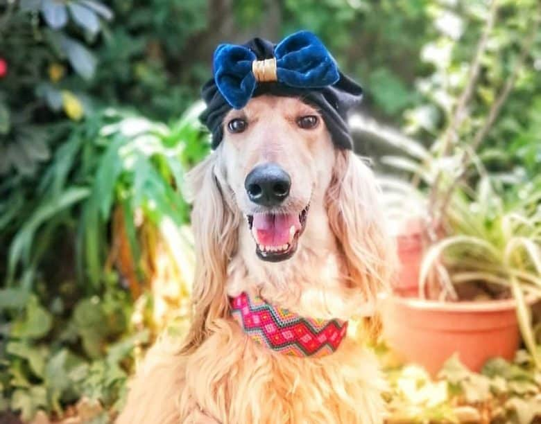 A sassy Afghan Hound dog