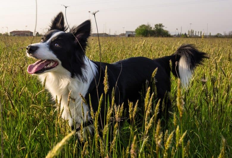 Active Border Collie running on the grass