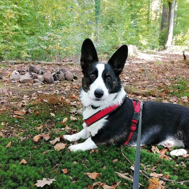 Active Cardigan Welsh Corgi ready for forest adventure