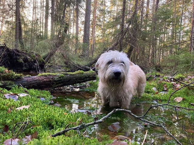 Active Glen of Imaal Terrier walking in a swamp