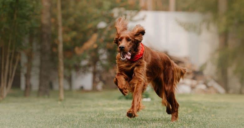 Active Irish Setter dog running on the field