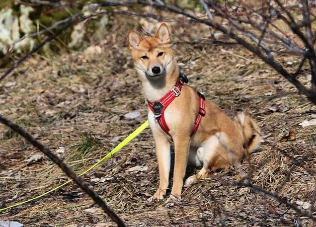 Active Shiba Inu dog ready for adventure