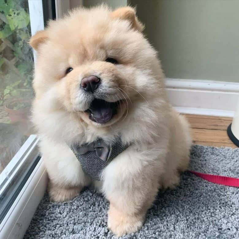 Adorable Chow Chow puppy
