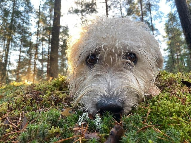 Adorable Glen of Imaal Terrier posing in the forest