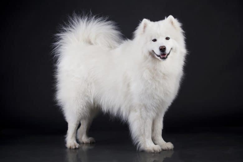 Adorable Samoyed dog