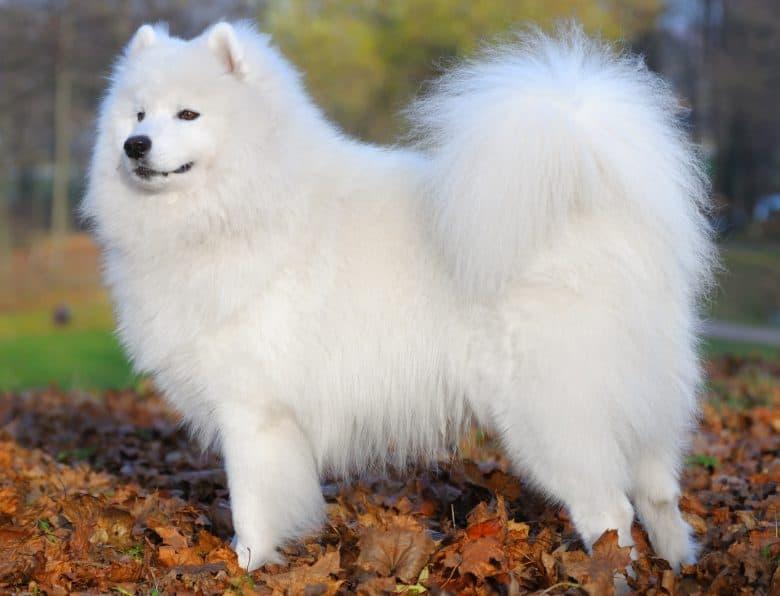 Adorable Samoyed dog posing outdoor