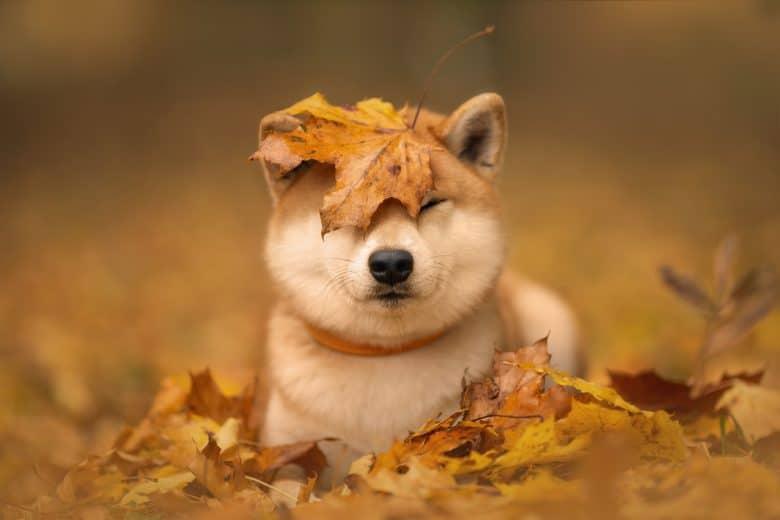 Adorable Shiba Inu dog in an autumn park