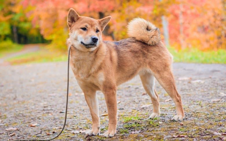 Adorable Shiba Inu dog posing outdoor