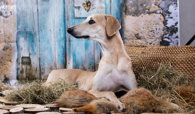 Adorable Sloughi dog posing outdoor