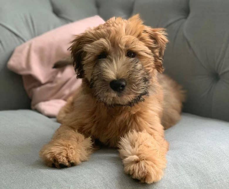 Adorable Soft Coated Wheaten Terrier puppy