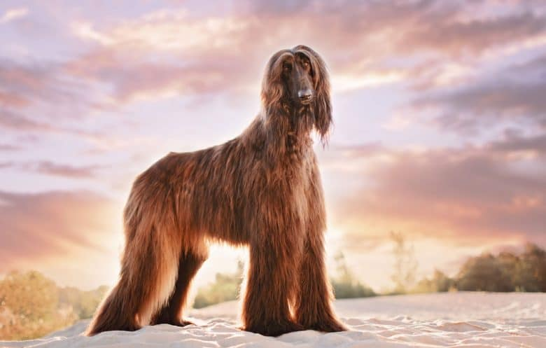 Afghan Hound standing on sand at sunset