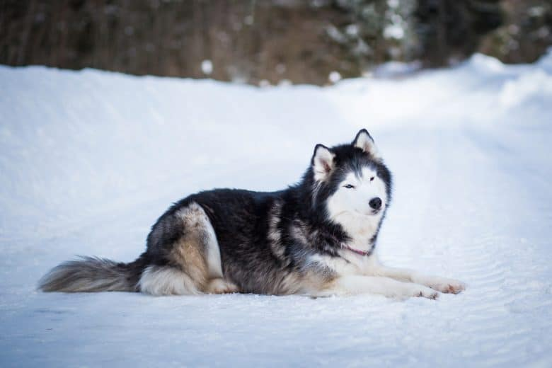 Meet the Alaskan Malamute
