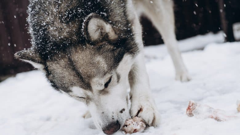 An Alaskan Malamute eating a bone in the snow