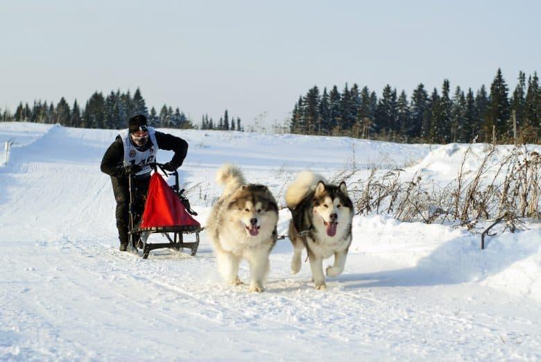 Alaskan Malamutes pulling a sleigh