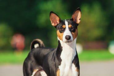 Basenji dog standing outside