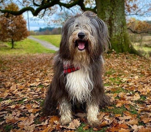 Bearded Collie dog named Hamish