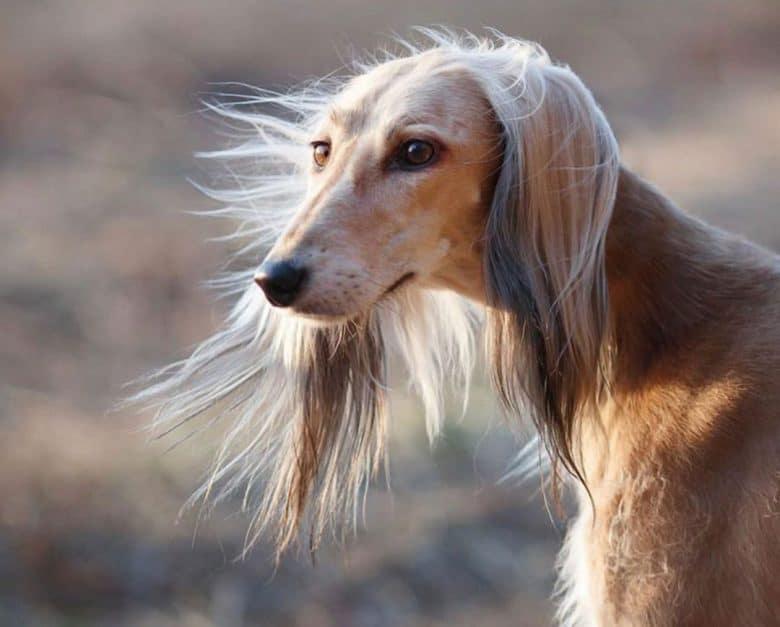 Beautiful Saluki dog close-up portrait