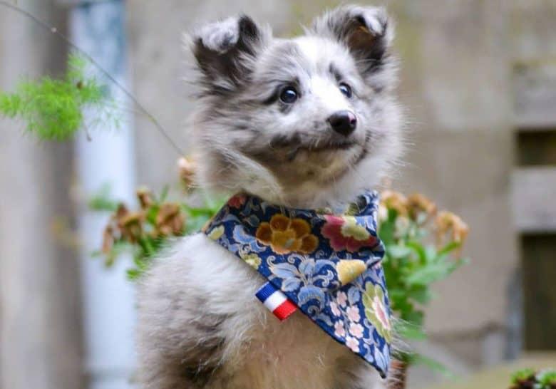 A Bi Blue Sheltie puppy wearing a scarf