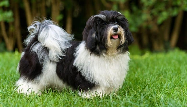 Black and white Havanese dog portrait