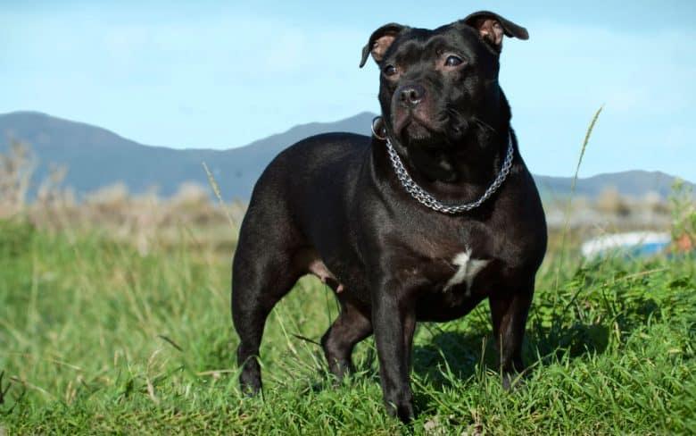 Black Staffordshire Bull Terrier dog standing on the grass