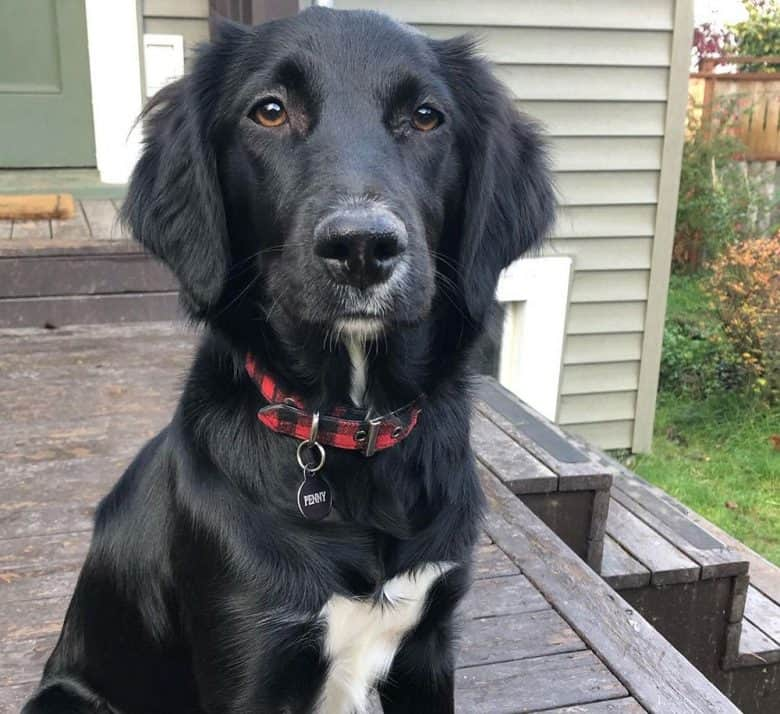 Border Collie and Irish Setter mix dog portrait