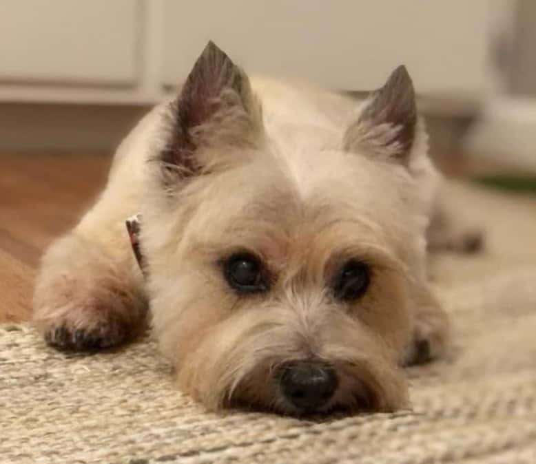 Bored Cairn Terrier puppy